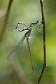 Platycnemis pennipes 4(loz).jpg