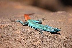 Platysaurus relictus1.JPG