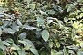 Plectranthus Cape Angels Dark Pink 0zz.jpg
