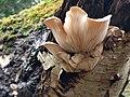 Pleurotus ostreatus 108300074.jpg