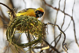 Southern masked weaver - A male starting to make a nest in Johannesburg, South Africa