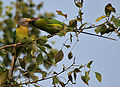 Plum-headed Parakeet (Psittacula cyanocephala) in Hyderabad W IMG 4524.jpg