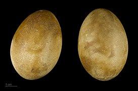 Podiceps cristatus MHNT.ZOO.2010.11.38.1.jpg