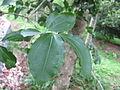 Poison Nut Tree - കാഞ്ഞിരം 03.JPG