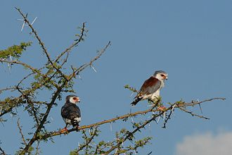 Pygmy falcon - A pair at Serengeti National Park, Tanzania. Male on left and female (brown back) on the right.
