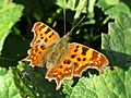 Polygonia c-album (Comma), Elst (Gld), the Netherlands - 3.jpg