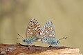 Polyommatus bellargus.jpg