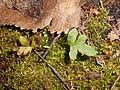 Polypodium vulgare 2017-10-18 7171.jpg