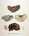 Polyporus zonatus — Flora Batava — Volume v19.jpg