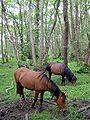 Ponies at matley bog.jpg
