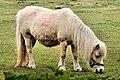 Pony - RSPB Fowlmere (33476164383).jpg