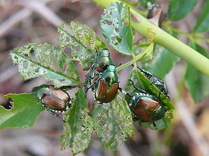 Group of Japanese beetles eating Rubus leaves