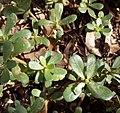 Portulaca oleracea - Γλυστρίδα, αντράκλα.jpg