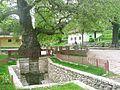 Prizren, 800 let starý platan.jpg
