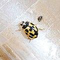 Propylea quatuordecimpunctata 123171172.jpg