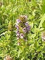 Prunella vulgaris NRM.jpg