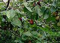 Prunus-domestica.JPG