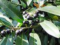 Prunus laurocerasus Frucht1.jpg