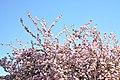 Prunus serrulata 'Kanzan' in the Jardin des Plantes of Paris 005.JPG