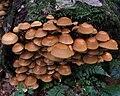 Psathyrella piluliformis B1.1.jpg