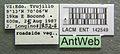 Pseudomyrmex laevifrons lacm ent 142549 label 1.jpg