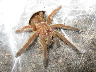 Cricket (insect) - Crickets are reared as food for pets and zoo animals like this baboon spider, Pterinochilus murinus, emerging from its den to feed.