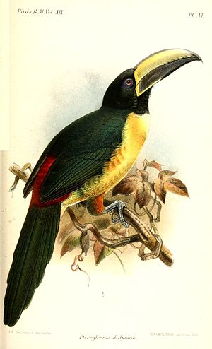 Lettered aracari - Subspecies P. i. humboldti; illustration by Keulemans, 1891