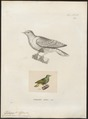 Ptilinopus nanus - 1700-1880 - Print - Iconographia Zoologica - Special Collections University of Amsterdam - UBA01 IZ15600065.tif
