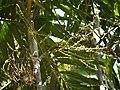 Ptychosperma macarthurii (4611183852).jpg