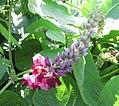 Pueraria montana var lobata kudzu Flower20170827 IMG 1664.jpg