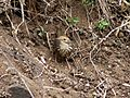 Puff-throated Babbler Pellorneum ruficeps Melghat Tiger Reserve by Dr. Raju Kasambe (4).jpg