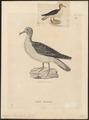 Puffinus leucomelas - 1700-1880 - Print - Iconographia Zoologica - Special Collections University of Amsterdam - UBA01 IZ17900011.tif