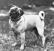 """A black and white photo of a pug facing the camera, turning its head."