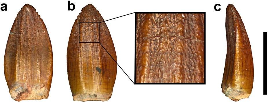 Pulanesaura tooth