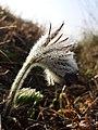 Pulsatilla pratensis (subsp. nigricans) sl36.jpg