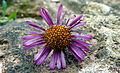 Purple Daisy (6097823460).jpg
