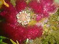 Purple soft coral and violet spotted anemone at North Paw DSC00138.JPG