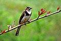 Pycnonotus jocosus (Red-whiskered Bulbul).jpg