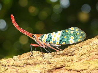 Fulgoridae - Pyrops candelaria