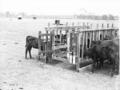 Queensland State Archives 1681 Calf feeding bails Rosevale March 1952.png