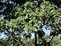 Quercus-pyrenaica-2.jpg