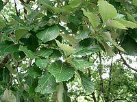 Quercus aliena2