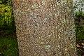 Quercus crassifolia in Hackfalls Arboretum (1).jpg