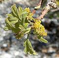Quercus gambelii 5.jpg