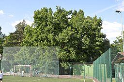 Quercus robur at Hanspaulka 04