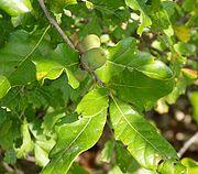 A hybrid white oak, possibly Quercus stellata × Q. muhlenbergii