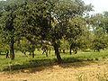 Quercus suber001.JPG