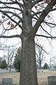 Quercus velutina (24164441935).jpg