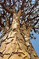 Quiver Tree (23863275708).jpg