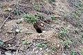 Rabbit burrow in Parco del Roccolo - Busto Garolfo, Lombardy, Italy - 2021-04-22.jpg